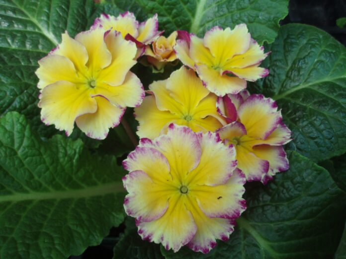 the mountain gardener Primroses