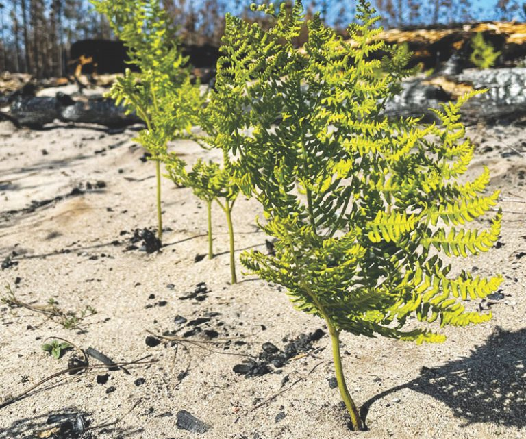 From the ashes: How rebirth of CZU burn zone will explain post-fire ecosystems